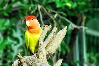 Lovebird | by Thanate Tan
