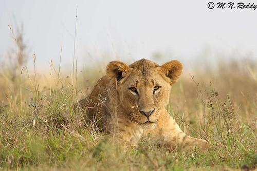 kenya bigcats africanwildlife nairobinationalpark nikkor600mm nikond4s youngadultlion