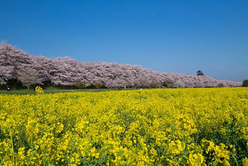 桜 cherryblossom 日本 埼玉県 幸手市 権現堂