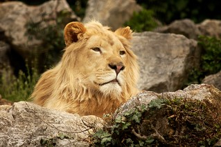 Lion | by marcycaster