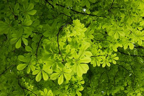 Kannabispuu