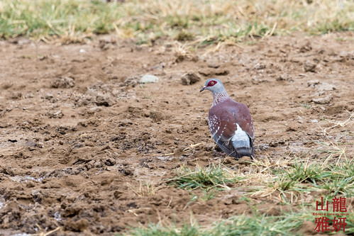 Speckled Pigeon   by DragonSpeed