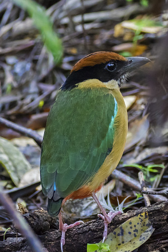 Noisy Pitta | by bidkev1 and son (see profile)