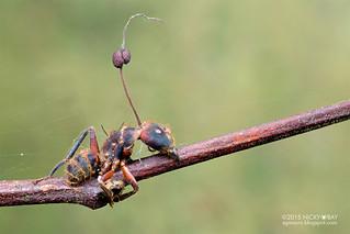 Ant (Formicidae) with cordyceps fungus - DSC_3405