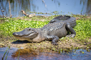 Basking Alligator | by route441