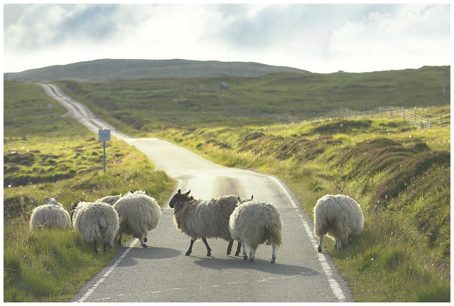 7 Sunset Sheep
