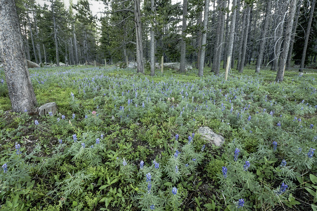Lupinus sp., Prunella vulgaris, Pine forest, Cutler Hill, Bighorn National Forest, Sheridan County, Wyoming