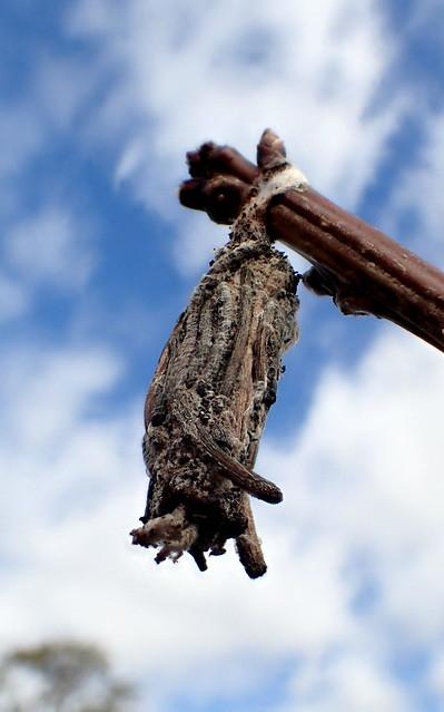 Stick Case Moth on cherry tree - Clania sp - Psychidae