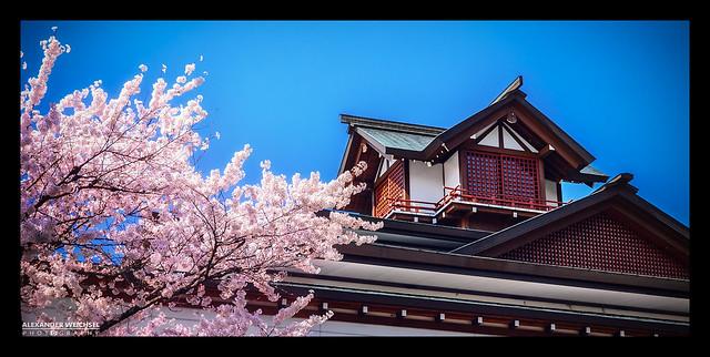 ✿ Sakura/Cherry Blossom in Takayama, Japan ✿