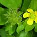 Ranunculus muricatus - Photo (c) Don Loarie, algunos derechos reservados (CC BY)