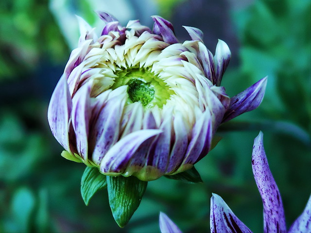 1 Purple Wonder
