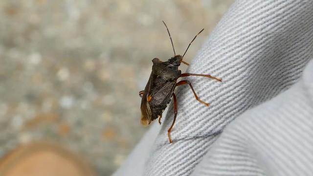 Shield Bug on me