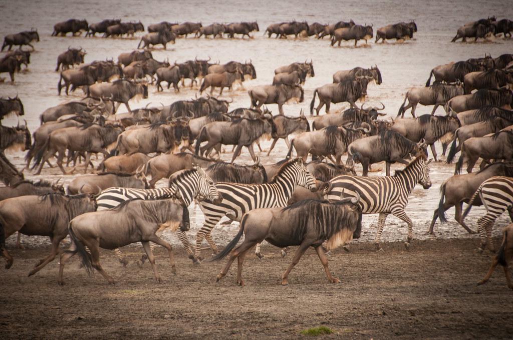 "Image result for great migration serengeti tanzania"""