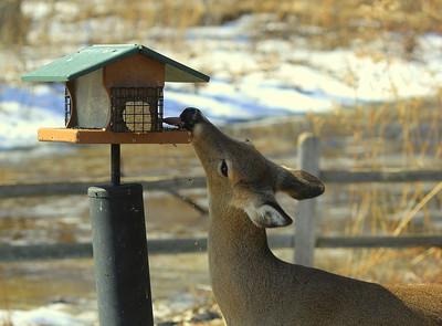 deer reaching up and licking birdfood off a bird feeder