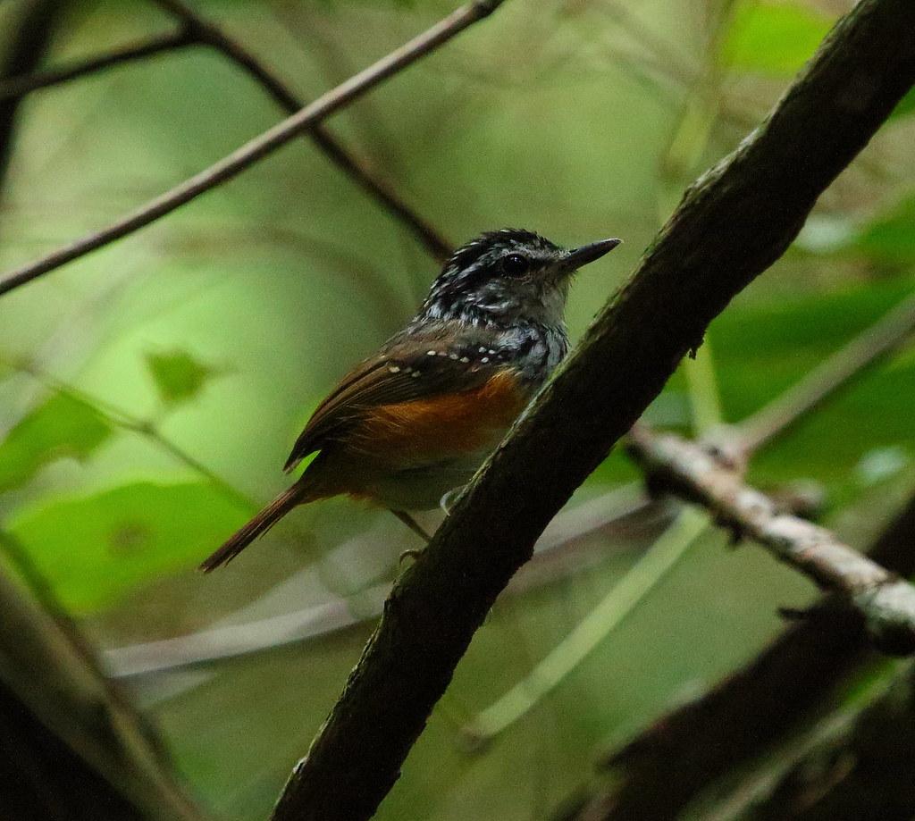 Guianan warbling antbird (Hypocnemis cantator) 3 Iwokrama Guyana March 2015