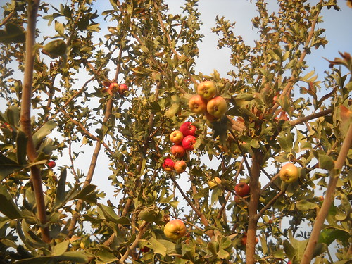 Zaarour Mayhow Berry Fruits Aug 7, 2016 (12) | by toutberryfarms