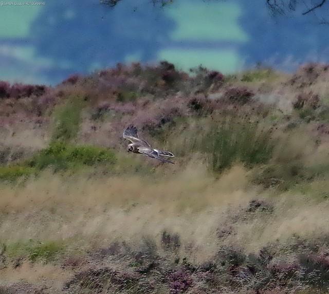 pallid Harrier sighting peak district 3.30pm 9.9.16  crop (4)