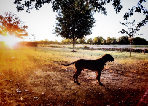 dog sunrise morning pets redbone hound