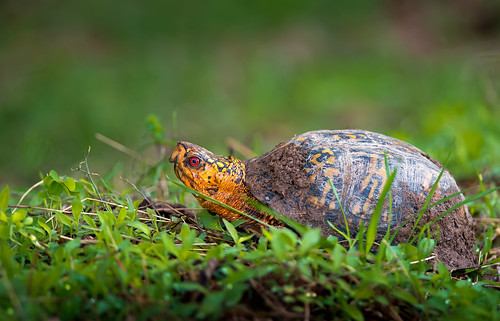 Eastern BoxTurtle | by cre8foru2009