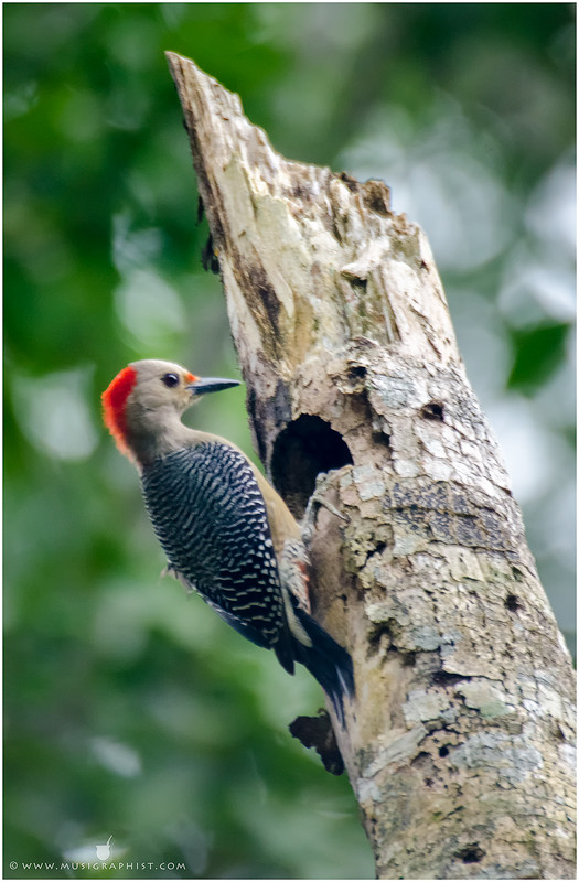 Carpintero-corona-roja