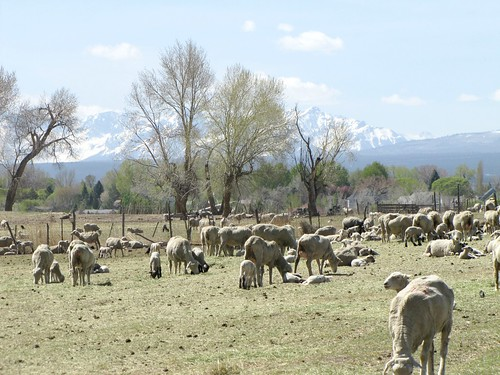 colorado sheep lambs livestock justborn montrosecolorado