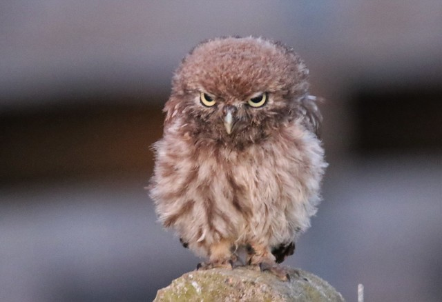 Young Little Owl Learning to fly