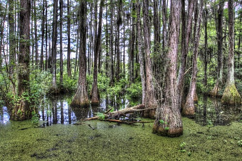water canon swamp cypress