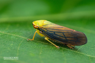 Leafhopper (Tartessus sp.) - DSC_7557