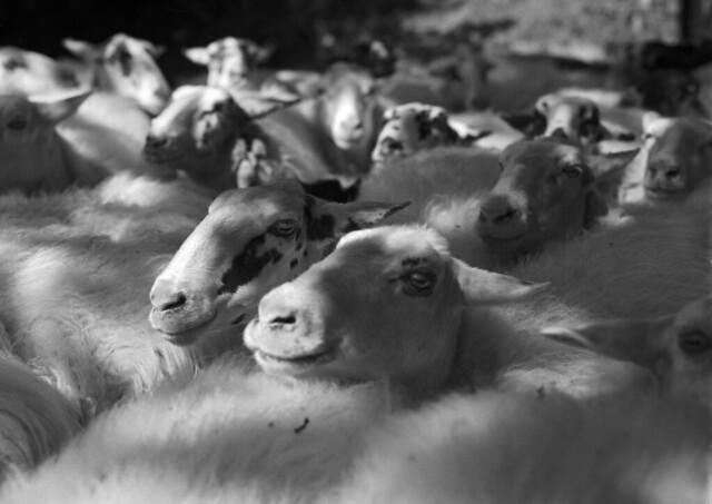 A school of sheep