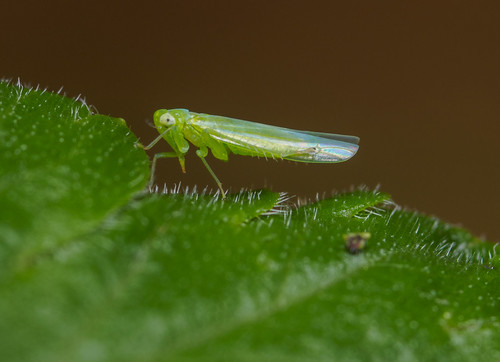 Leafhopper | by Alf Branch