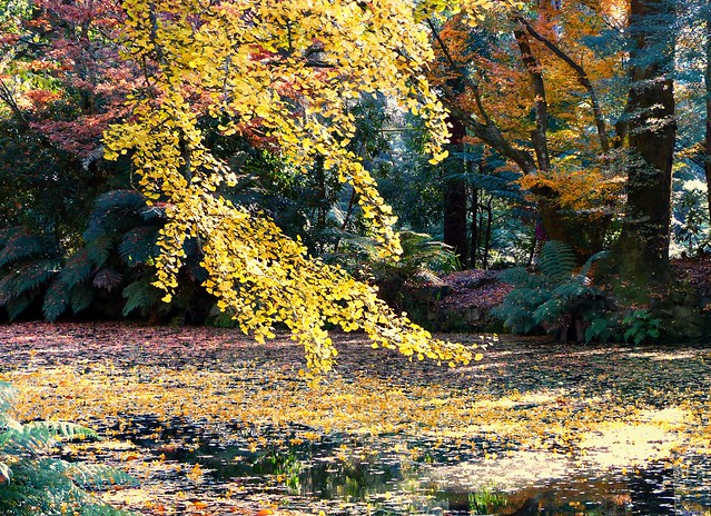 The Gingko tree stands out among the crowds, while floating leaves on the pond linger on, as if attempting to defy their fleeting existence