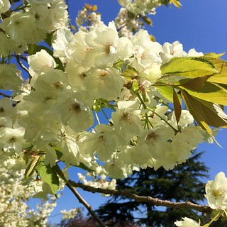 Regent's Park cherry blossom 2018   by Fran Pickering