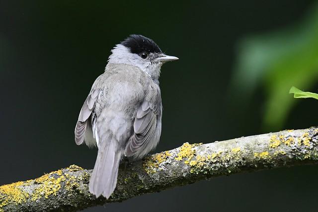 Fauvette à tête noire - Sylvia atricapilla - Eurasian blackcap