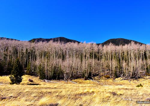 trees falls arizona flagstaff innerbasin humphreyspeaks 12000feet spring