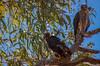 Accipiter fasciatus by Kieran Palmer