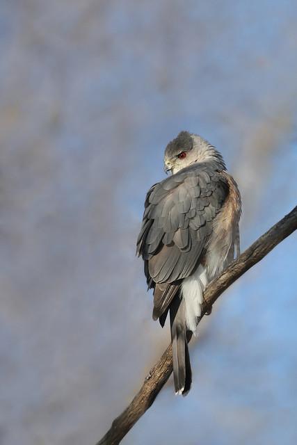 Épervier de Cooper / Cooper's hawk male