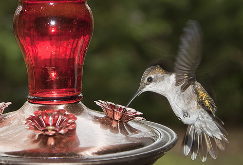 ruby-throated hummingbird female | by Anne Davis 773