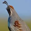 Gambel's Quail by NatureNM