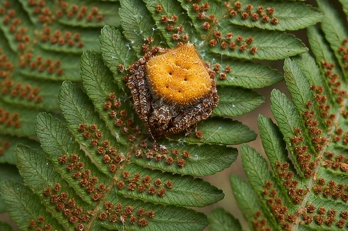 singaporebugtracker laglaisesgardenspider eriovixialaglaisei spidersofsingapore orangespider orangeorbweaver macroinsect bukittimahnaturereserve fernspores araneidae