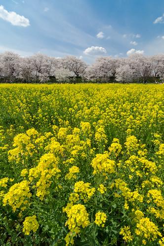 travel flowers blue sky people tree yellow japan spring nikon crowd leslie taylor 桜 sakura cherryblossoms saitama rapeseed 花見 菜の花 satte 埼玉県 幸手 d7000 lestaylorphoto