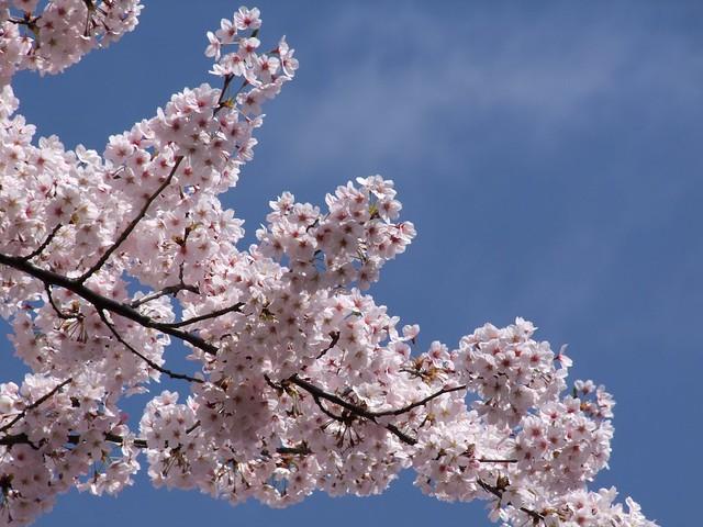 Sakura 2015 08