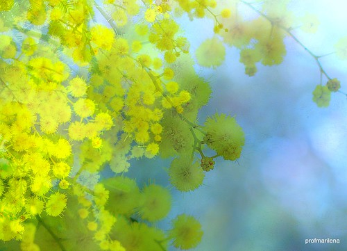 201504411 mimosa in my garden