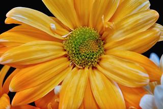 Orange Daisey 1a _DSC9813