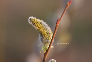 Zalog Salix Cinerea   by MyBees.ro
