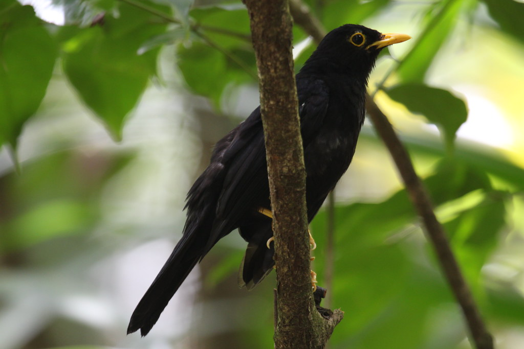 Yellow-legged Thrush