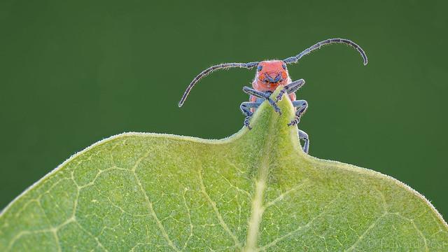 Red Milkweed Beetle (Tetraopes tetrophthalamus)