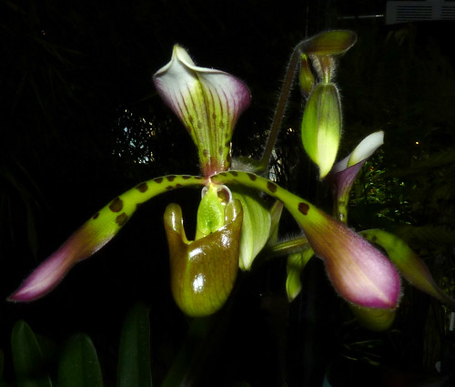 the 2015 pacific orchid exposition, Paphiopedilum haynaldianum ('Jeanie' x 'Jackie') am-aos,  winner of best Paphiopedilum Alliance by commercial exhibitor