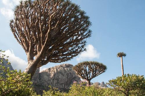 Ile de Socotra_Février 2015_Dragonniers_ Monts Haggier. | by Pipaillon