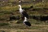 Andean goose - Neochen melanoptera by Rick e Elis Simpson