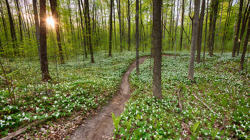flowers ontario canada trillium spring woods bloom